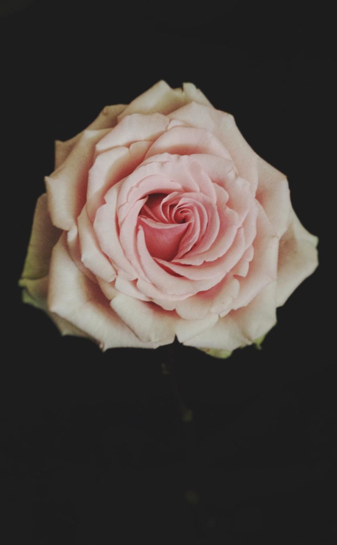 mhsirois-7_rose7